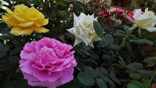 Τριαντάφυλλα σε κήπο