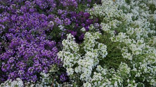 Λουλούδια κήπου