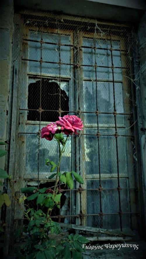 Τριαντάφυλλα σε ερημωμένο σπίτι.